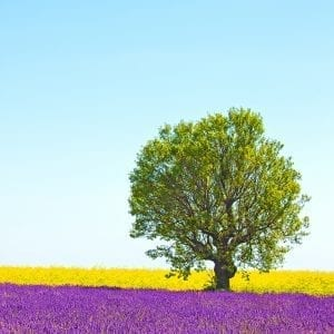 beautiful tree in lavender meadow
